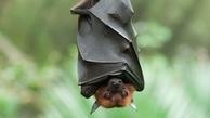 خفاشها از بیماریهای ناشی از این ویروسها در امان هستند.