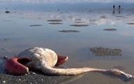 تلفات پرندگان مهاجر در میانکاله و خلیج گرگان به ۱۳ هزار و ۶۹۹ قطعه رسید