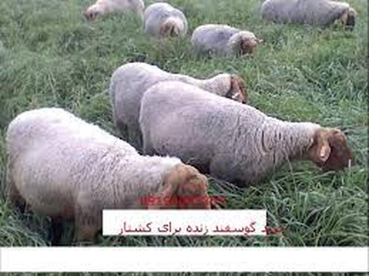 قیمت گوسفند زنده برای محرم اعلام  میشود