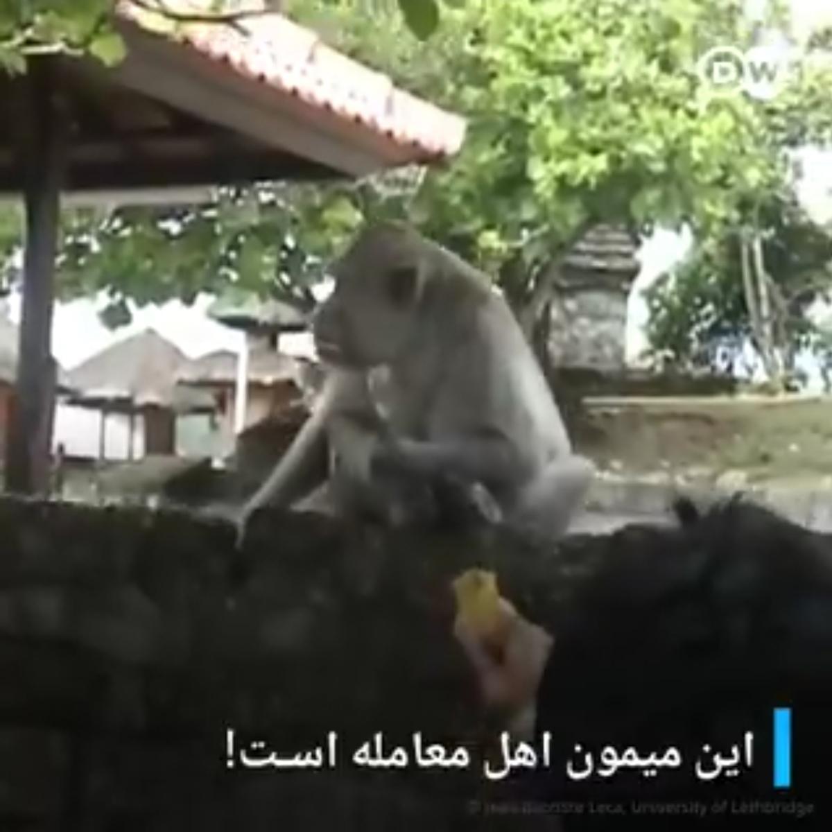وقتشه میمونها هم صاحبکار بشن + ویدئو
