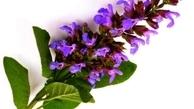 گیاه دارویی مریمگلی جایگزین مناسبی برای دهانشویههای شیمیایی