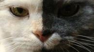 """(تصاویر) محبوبیت روزافزون """"گربه دوچهره"""" از نژاد ایرانی"""