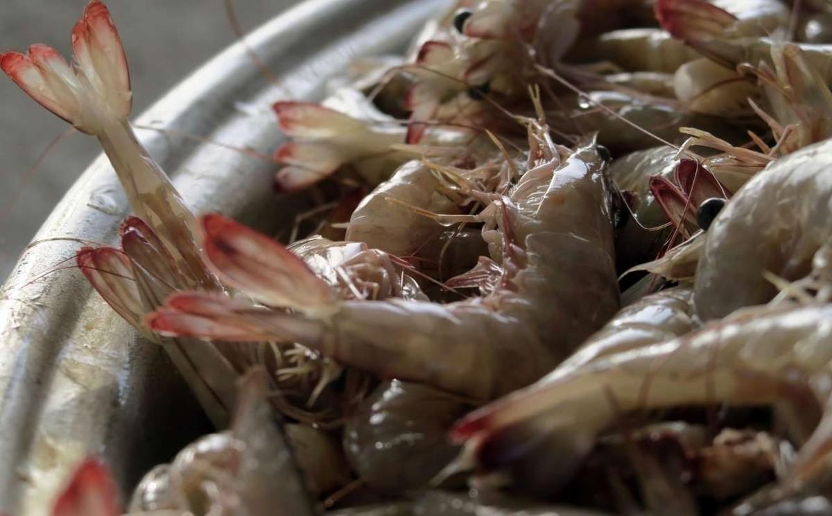 ۱۰ تا ۱۳ درصد مزارع میگو درگیر بیماری لکه سفید شدند