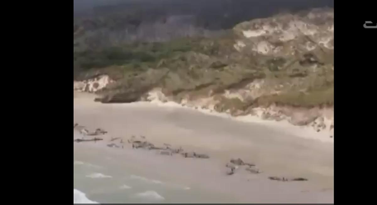ویدیو: خودکشی دسته جمعی ۱۴۵ نهنگ در نیوزیلند