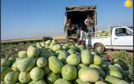 آغاز برداشت هندوانه در اربیل عراق  + عکس