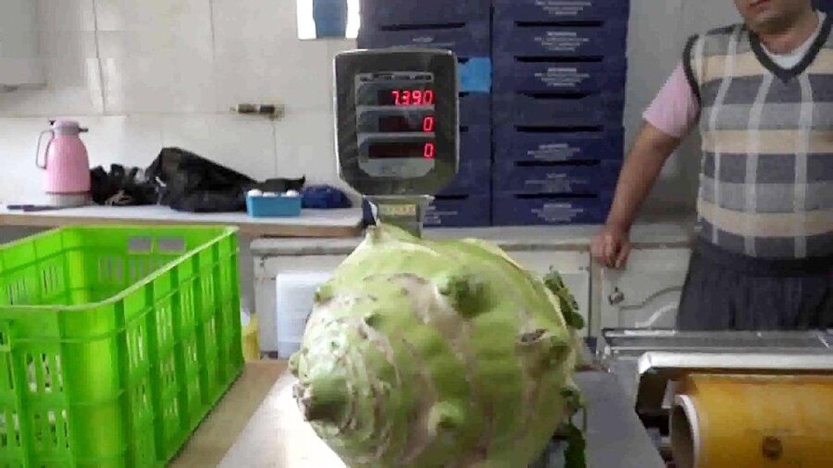 پرورش سنگینترین کلم دنیا به وزن 7کیلو در اردبیل