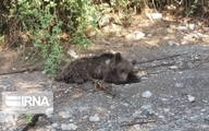 علت مرگ خرس قهوه ای در گلستان اعلام شد