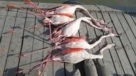 مرگ مشکوک پرندگان در تالاب بینالمللی میانکاله