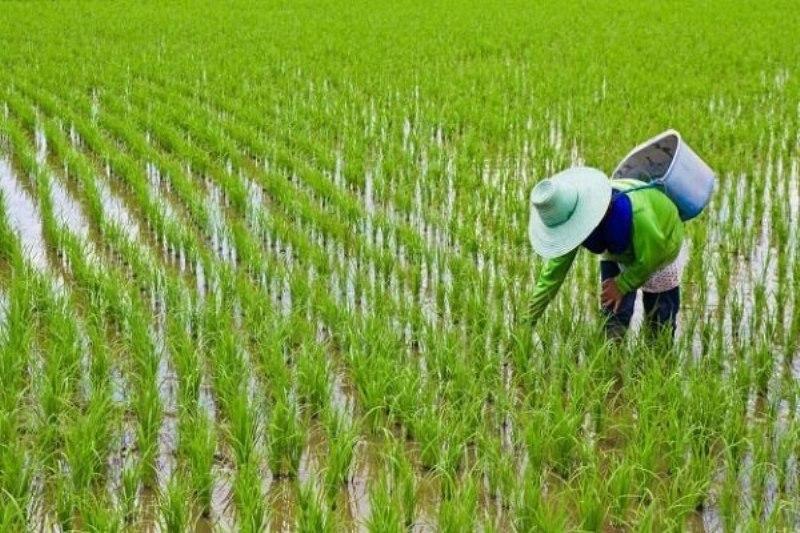 ممنوعیت کشت برنج  لغو شد