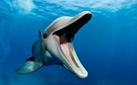 دلفین های انتحاری؛ جانوران آبزی که برای عملیات جاسوسی و خرابکاری آموزش میبینند