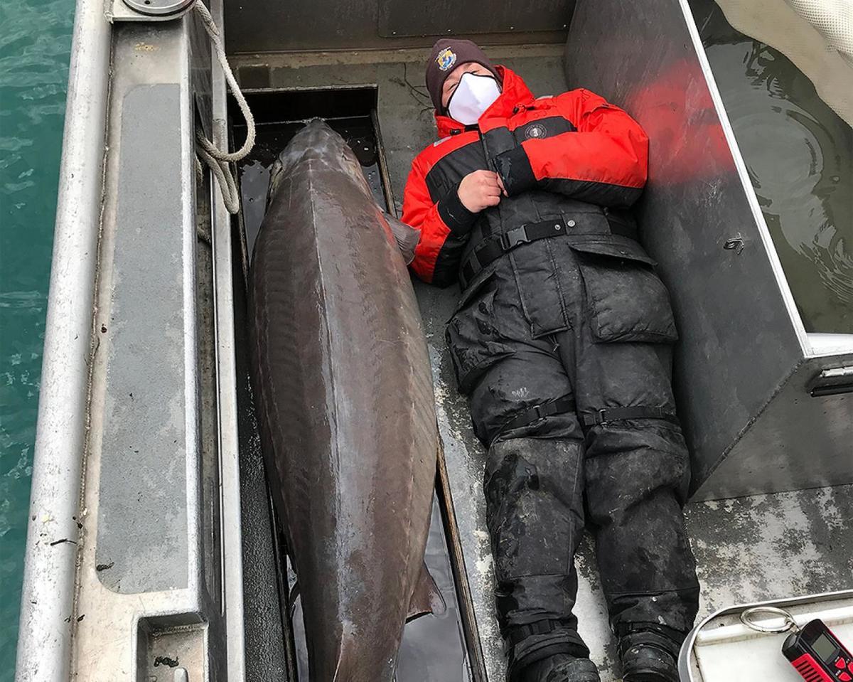صید ماهی خاویار ۱۰۰ ساله غولپیکر+عکس