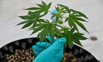 جرمزدایی با ماریجوانا | چگونه آزادسازی مصرف ماریجوانا جرائم خشن را کاهش داد؟