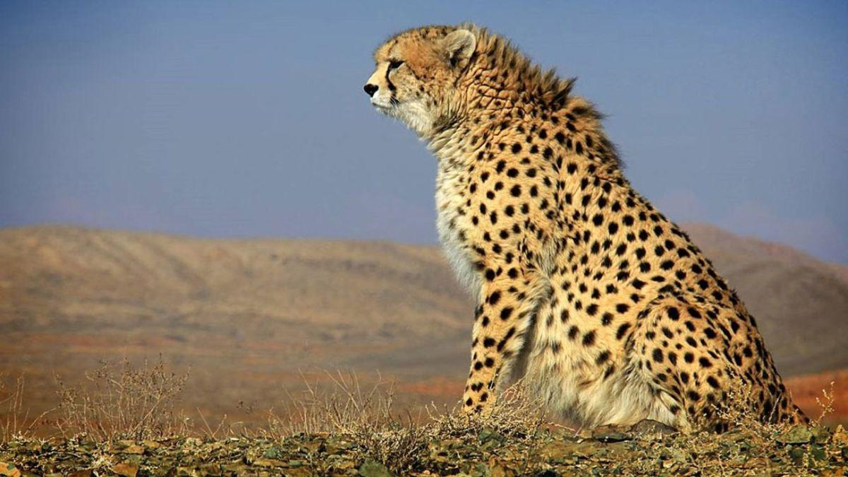 یوزپلنگ ایرانی در خراسان شمالی مشاهده شد