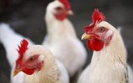 آیا قیمت مرغ دوباره افزایش پیدا می کند؟