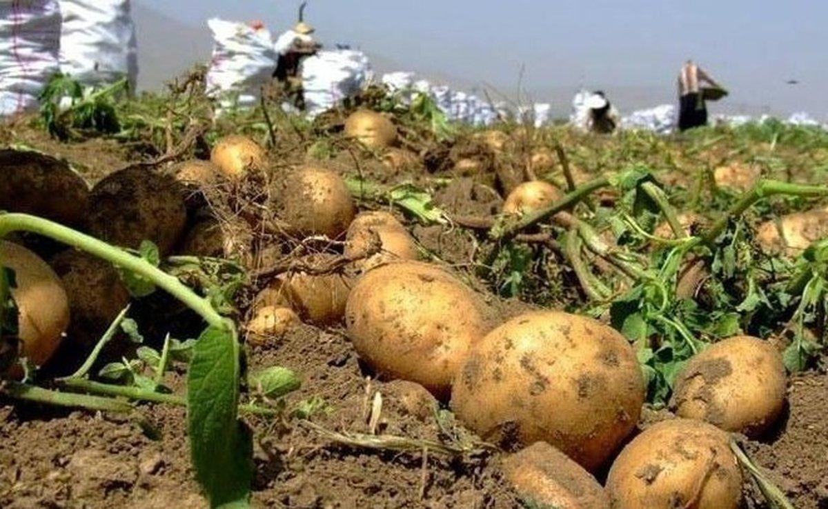 سیب زمینی ارزان می شود؟ | کاهش قیمت سیبزمینی و گوجهفرنگی در میادین میوه وتره بار