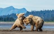 شیطنت دو توله خرس در آلاسکا