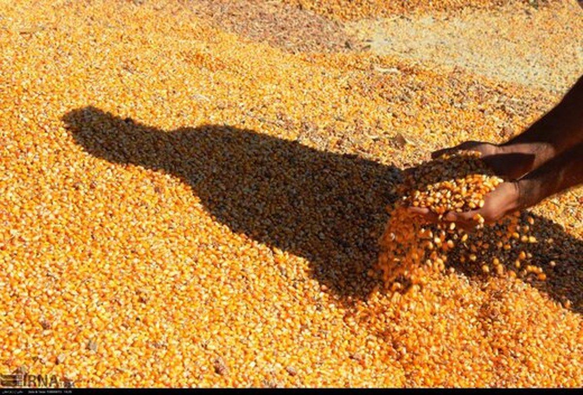 ۳۰ تن ذرت قاچاق در کنگاور کشف شد