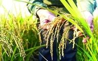 برنج باران