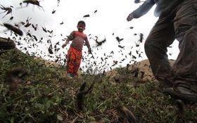 هجوم ملخ ها به مزارع کوهرنگ شدت گرفت