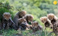 اتفاقی نادر؛ هفت توله زنده یک یوزپلنگ در حیات وحش