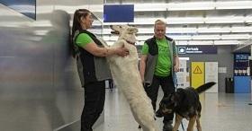 سگ های کرونایاب   |   سگها یک بار دیگر برای کمک به ما انسان ها به میدان آمده اند