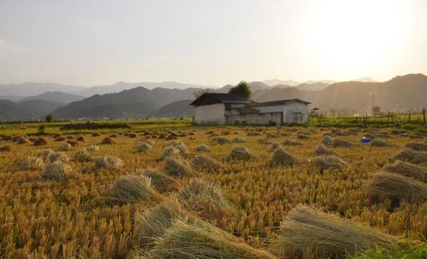 برداشت برنج از مزارع مرزی آستارا