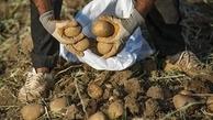 اختلاف 2 برابری قیمت سیب زمینی از مزرعه تا بازار