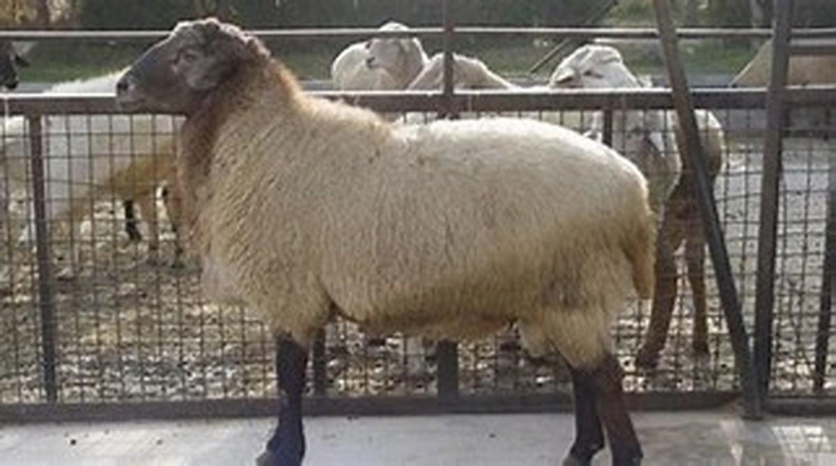 مرگ 107 راس گوسفند در مرودشت فارس