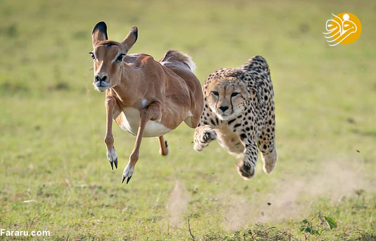 تعقیب و گریز ۱۰ ثانیهای یوزپلنگ با ایمپالا