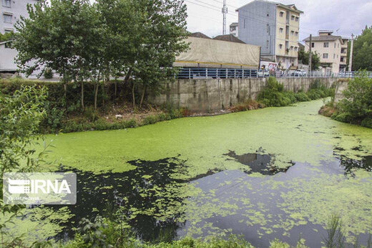گیاهی که به رودخانههای آستارا حمله کرد!