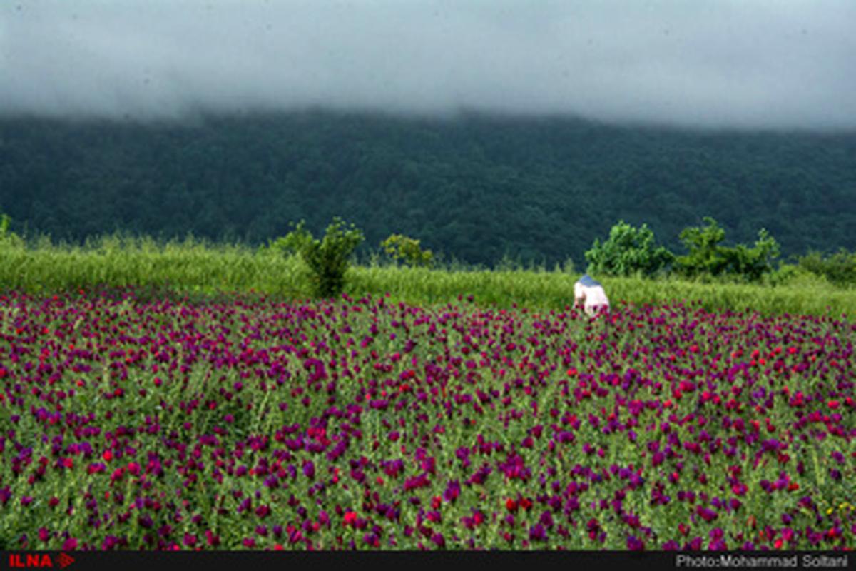 برداشت گل گاوزبان از مزارع مازندران