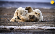 صبر مادرانه خرس قطبی