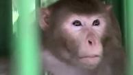 میمون | حیوان مست به خاطر قتل و خشونت به حبس ابد محکوم شد