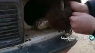 شیوه جدید قاچاق گوسفند! + ویدئو