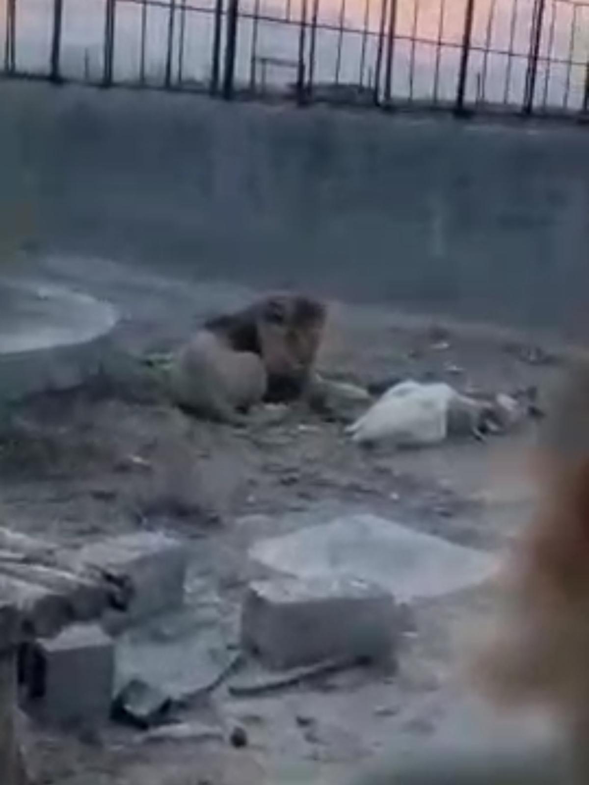 وضعیت سلطان جنگل در باغ وحش ارومیه! + ویدئو