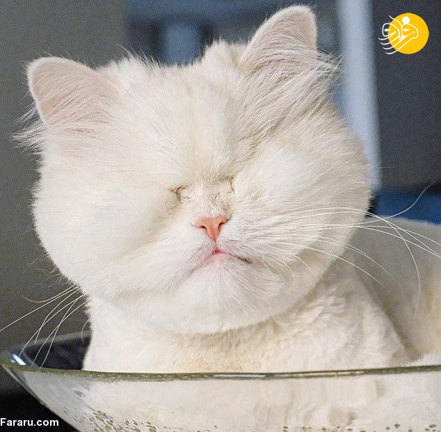 عکس هایی از موت گربه نابینای ایرانی در شبکه های اجتماعی