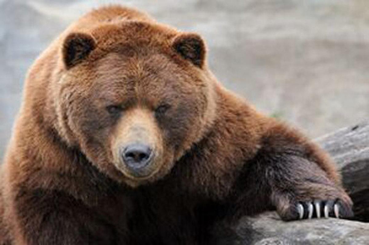 کشته شدن یک قلاده «خرس قهوهای» در فیروزکوه