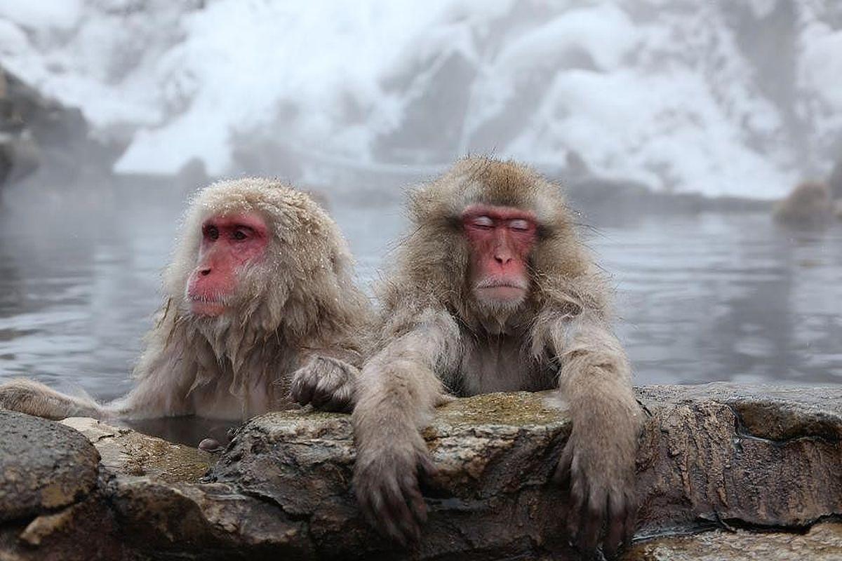 ویدئو؛ میمونهای ژاپنی تنی به آب گرم میزنند!